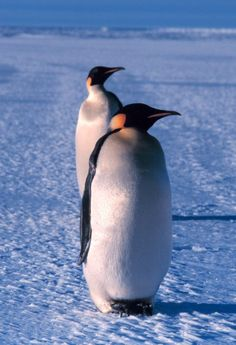 """Emperor Penguin""==>"