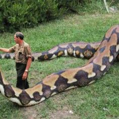 Well I hope this massive snake has eaten or his lunch is on hand! www.zoovue.com #conservation #wildlife #zoo #anaconda