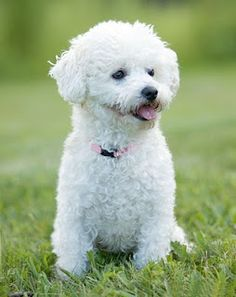 109 Best Bichons images in 2019   Adorable puppies, Cute