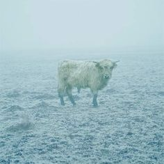 Young Bull in fog