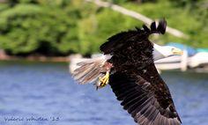 Bald Eagle  Big Indian Lake, Saint Albans Maine