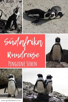 Boulders Beach and Foxy Beach - Penguins South Africa - South Africa round trip penguins at Boulders Beach and Foxy Beach – meet the South African pengui - Boulder Beach, Penguin S, Round Trip, Africa Travel, Romantic Travel, Bouldering, Family Travel, South Africa, Places To Go
