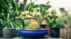 Pot à bonsai bleu