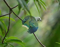El tilopo coroniblanco (Ptilinopus dupetithouarsii)