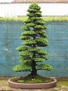 Bonsai tree after 15 years                                                                                                                                                                                 Más