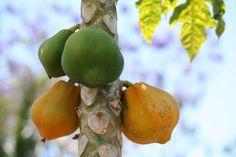 http://lapalma-botanik.info/resources/papaya.jpg