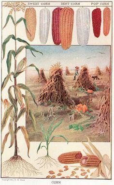 corn botanical illustration @wikimediacommons #illustration #botanical #print