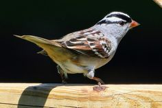 White Crowned Sparrow. Perched on the board of honor. Kingsport TN USA - Fred Wampler - Google+