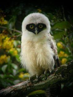 Funny Wildlife, Baby Spectacled Owl. Funny Wildlife.