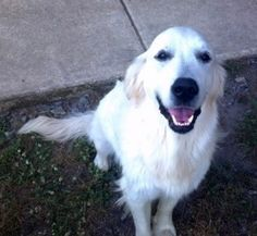 This is Snowy - 1 yr. He is an owner surrender. He is a young boy who has not had any training & needs obedience class. He gets along with other dogs, cats & many farm animals, kids over age 10 & is current on vaccinations & neutered. He needs plenty of daily exercise & continued training. He is a happy, playful boy looking for a forever home & is at Sunshine Golden Retriever Rescue, CT.