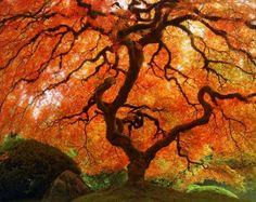 "Fall Nature Photography ""Autumn Zen"" Red Orange Japanese Maple Tree Photograph, Landscape Art, Fall Color Asian Wall Decor 8 x 8 Photo Print"