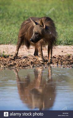 Brown hyena Hyaena brunnea Kgalagadi Transfrontier National Park Northern Cape…