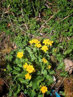 Sumpfdotterblumen in voller Blüte an einem sonnigen Frühlingstag