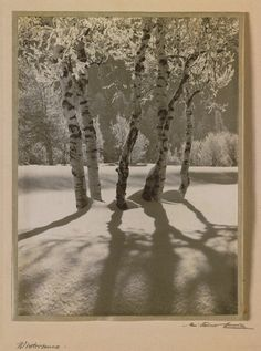 Birch trees in the winter sun, ca 1924, Albert Steiner. Swiss Photographer (1877 - 1965)