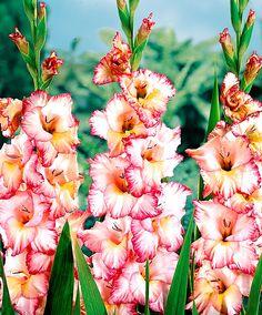 Gladiolus 'Priscilla'