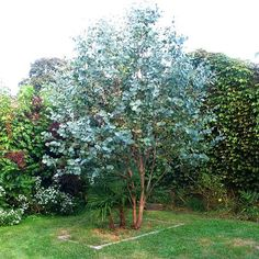 Eucalyptus gunnii is fast growing and easy to care for, making an outstanding specimen plant. Height: Up to 25m (80ft) if not pruned.