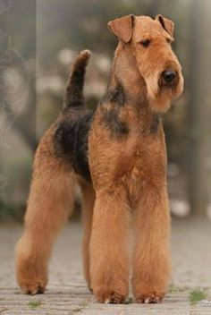 """Wispa - now GOLD GCH Joval Angel's Whisper """"AWESOME"""""""
