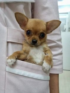 Pocket chihuahua. I would definitely carry Izzy in my white coat