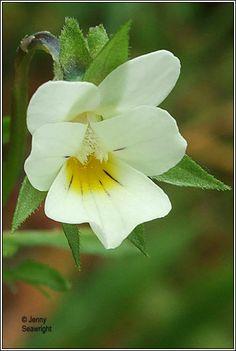 Irish Wildflowers - Field Pansy