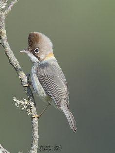 Whiskered #Yuhina  #Pangot #birds copyright ishmeet sahni