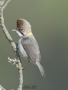 WHISKERED YUHINA (Yuhina flavicollis) - found in the subtropical or tropical moist montane forests of Bangladesh, Bhutan, China, India, Laos, Myanmar, Nepal, Thailand and Vietnam. They feed in low branches and bushes on insects, small snails, nectar, seeds and berries.