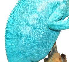 Panther Chameleon - Furcifer Pardalis - Nosy Be Locale - Male  Nosy Be Panther Chameleon breeder here at Canvas Chameleons named Freeze