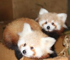 two little baby red pandas ^^