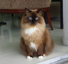 Mitted seal mink Ragdoll teen Ragdollcatspot on FB