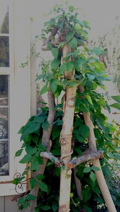 My Obelisk....with it's vine! WOW she grew fast....click to see more projects from tree limbs
