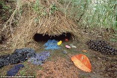 Colourful: The Indonesian Brown Gardener bird spent up to ten months building the intricate tent-like home and filling it with colorful objects all arranged in neat piles to attract a mate.