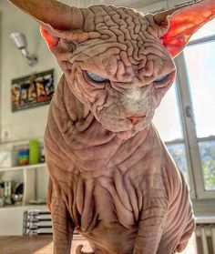Gato Sphinx, Chat Sphynx, Scary Cat, Rare Animals, Cool Cats, Cat Art, Cats And Kittens, Funny Cats, Kitty