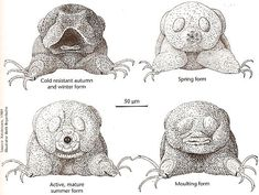 "microscopic Tardigrades or ""water bears"" have seasonal skins."