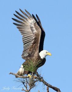 Bald Eagle Going After A Red-shouldered Hawk