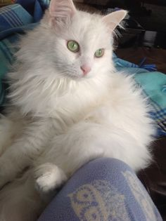 Turkish Angora Cat- like my Léo Turkish Van Cats, Turkish Angora Cat, Angora Cats, Cute Kittens, Cats And Kittens, Pretty Cats, Beautiful Cats, Flea Shampoo For Cats, Herding Cats