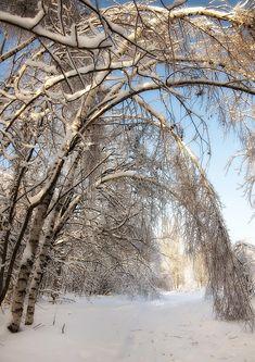 Birches bending down. Beautiful World, Beautiful Places, Beautiful Scenery, Beautiful Winter Scenes, Snow Scenes, Winter Beauty, Winter Snow, Nature Pictures, Pretty Pictures