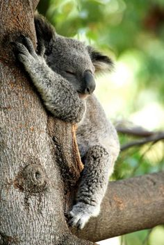 Tree-Hugging Koalas Uncover the Secret to Staying Cool