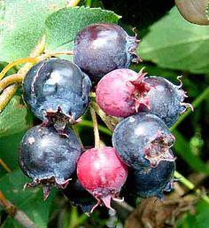 Juneberry cluster