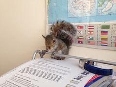 Studious squirrel