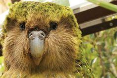 Flightless Parrot, Kakapo Parrot, Parrot Tattoo, Beautiful Birds, Animal Pictures, New Zealand, Wildlife, Creatures, Nature