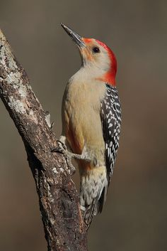 Red Bellied Woodpecker  ~ Ours has larger, more brilliant red head, as well as larger red spot on belly. One of the prettiest I've ever seen. We'd get along just fine if he'd stop eating my house!