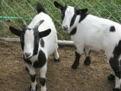 fainting goats. You have to look them up on you tube. They are hilarious.