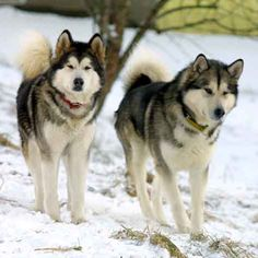 "Alaskan Malamute.   Unlike Golden Retrievers, Mals generally are not ""dog park""  dogs."