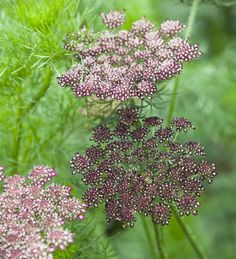 Chocolate Queen Anne's Lace or Daucus Carota. Absolutely stunning and classic flower in deep purple or burgundy. Usually available in january for your seasonal winter wedding florals!