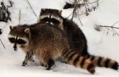 pair of racoons