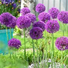 Allium aflatunense Bulbs Purple Sensation