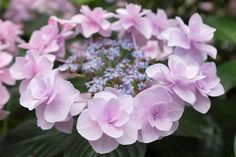Colors of hydrangea (1/3) by peaceful-jp-scenery on Flickr.