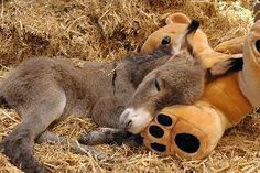 Donkey Foal Sleeping With Stuffed Teddy Bear For Comfort.