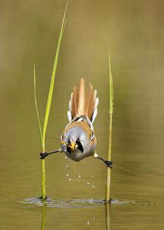 acrobat bird. -2