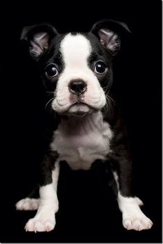 French Bull Dog...