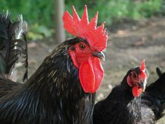 De caractère vif, la poule noire du Berry est une bonne pondeuse, précoce, pouvant donner une moyenne annuelle de 200 oeufs à gros jaunes, de 60 gr environ, dont la coquille est blanche.